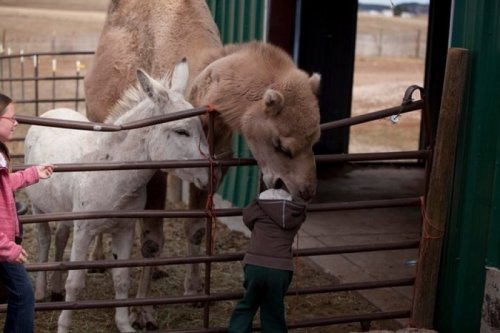 Camel Eats Child  And all agreed that it was a tragic, but hilarious way to die.  [Like following us on Tumblr? Join the party on Facebook!]