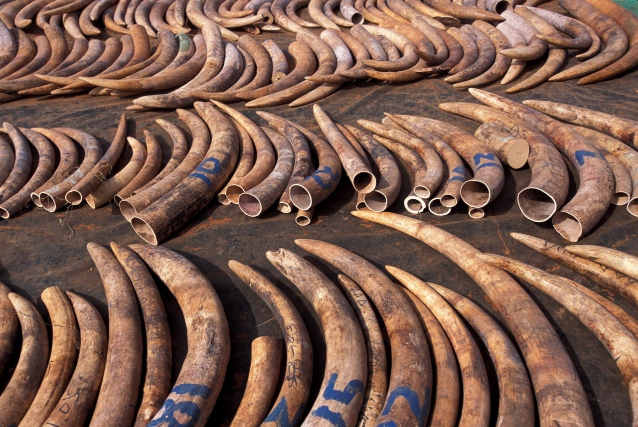 Over 20,000 elephants are illegally slaughtered every year, so the ivory can be ripped from their jaws and sold on the black market.