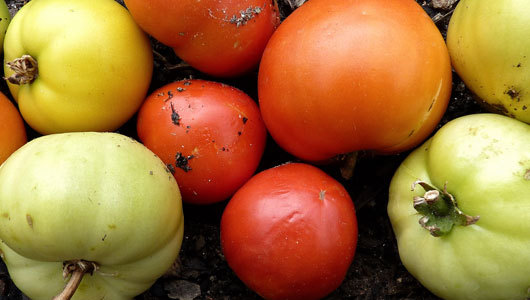 mothernaturenetwork:  How to grow tomatoesFrom seed to harvest, a guide to help backyard gardeners enjoy one of America's favorite vegetables.
