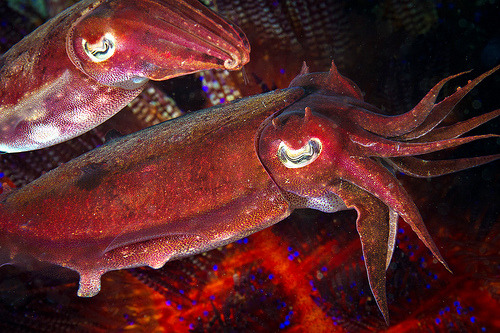 regedt32:  Red cuttlefish couple right after mating (- Luko Gecko)