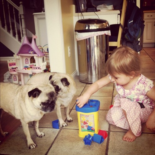 Further proof that the pugs ate always with Joss. #pugs  (Taken with instagram)