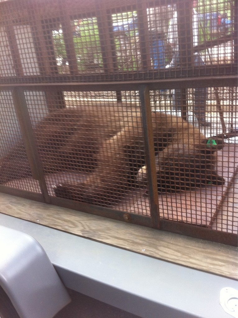 dailycamera:  @BrittanyAnas: #cubear tranquilized and caged