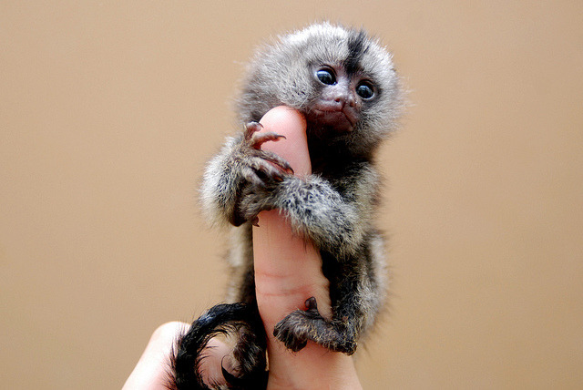 Marmoset  by floridapfe on Flickr.Just in case someone forgot what my fav monkey is.