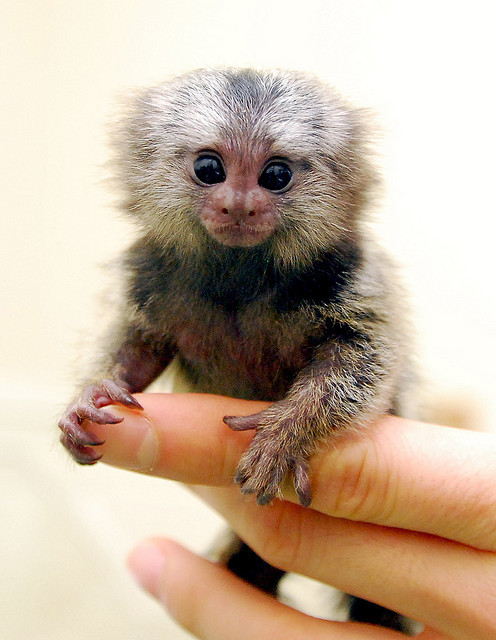 Marmoset by floridapfe on Flickr.My baby