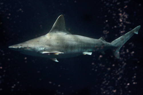For the first time ever, the Aquarium is exhibiting a sandbar shark (carcharhinus plumbeus), in our million-gallon Open Sea exhibit. The male shark, originally from Hawaii, has been growing up behind the scenes in our Animal Research and Care Center in Marina. The new shark is 43 pounds and measures four feet, six inches, and you can see it now on our live web cam!