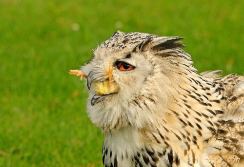 collegehumor:   Owl with Chick in its Mouth   One chicken-stuffed owl, coming right up.    It is a dog eats dog world
