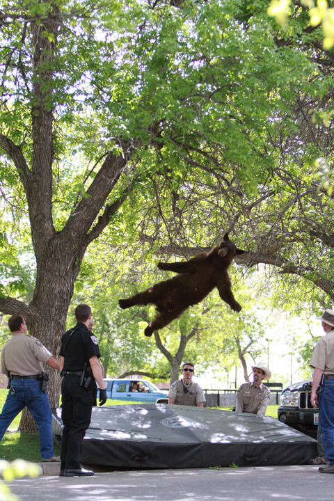 This bear falling from a tree onto a mattress made my day.  [more here CU Independent] via thisiswatermags:peterwknox:taylorlorenz: