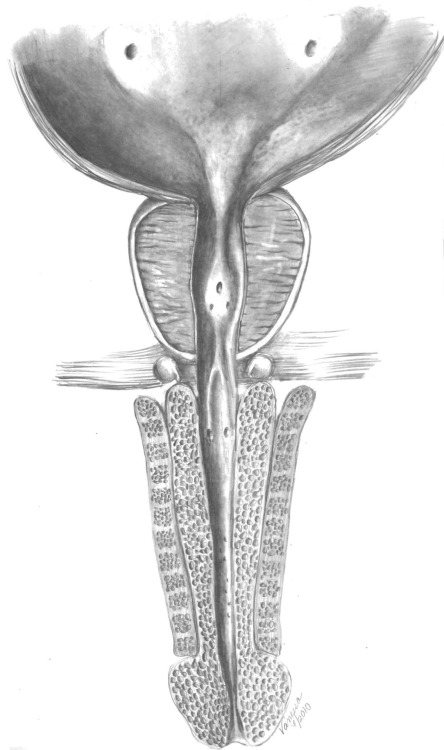 vanessadudley:  Male urethral anatomy (bladder through penis), commissioned by Ashutosh Tewari, MD at Weill Conrell Medical College, New York Presbyterian Hospital, New York, NY.