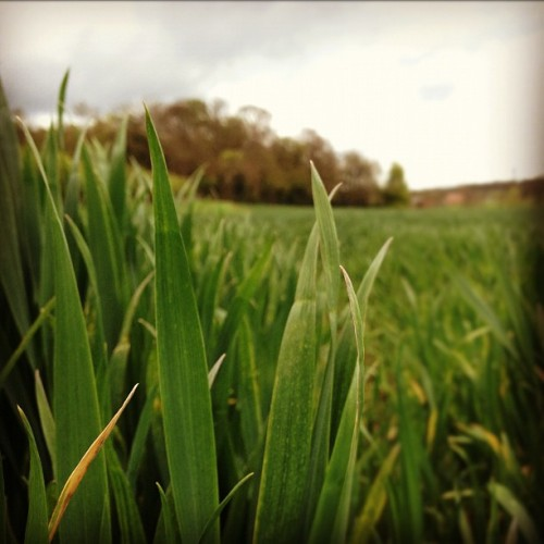 Blades of grass #grass #field #green #outdoors #countryside #instapic #instagram #ig (Taken with instagram)