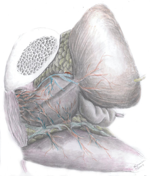 vanessadudley:  Sag view of the prostate, bladder and colon.  Commissioned by Ashutosh Tewari, MD at Weill Cornell Medical College, New York Presbyterian Hospital, New York, NY.