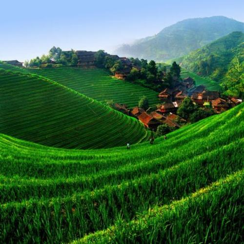 Rice Field in China