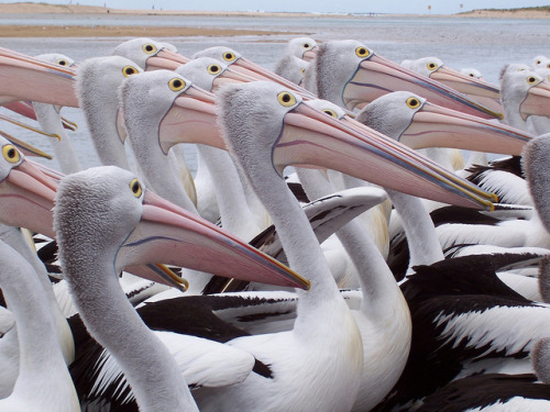 earthly-fauna:  Pelicans by MarkCoomber on Flickr.