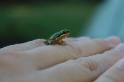 A tiny coppercheek frog I found on the grass at our holiday house on Stradbroke Island