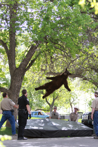 "motherjones:  ""A bear spotted wandering around Williams Village this morning has been safely tranquilized by wildlife officials."" And sometimes there's a photo on the internet that everyone must see right now.  via CU Independent  Poor guy!"