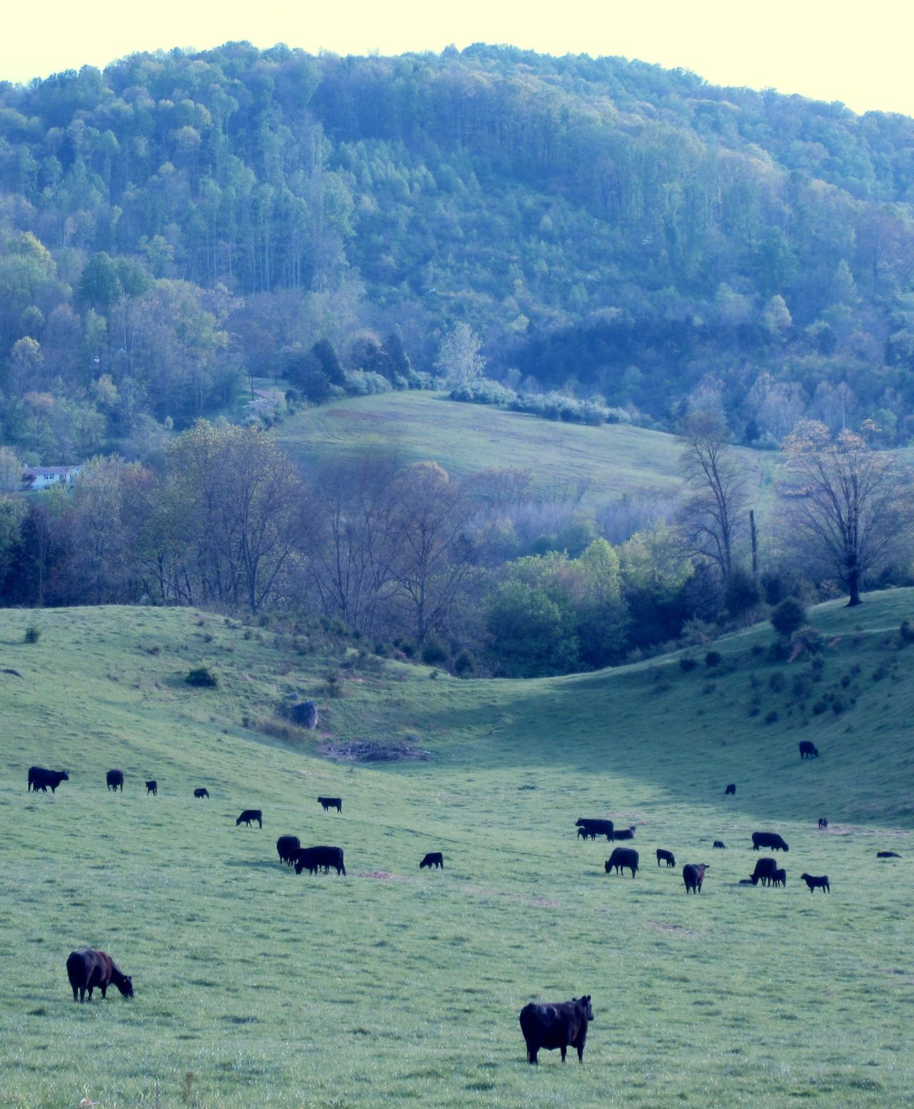 fuckyeahphotography:  Cows grazing. Taken by Hilary Rakestraw.
