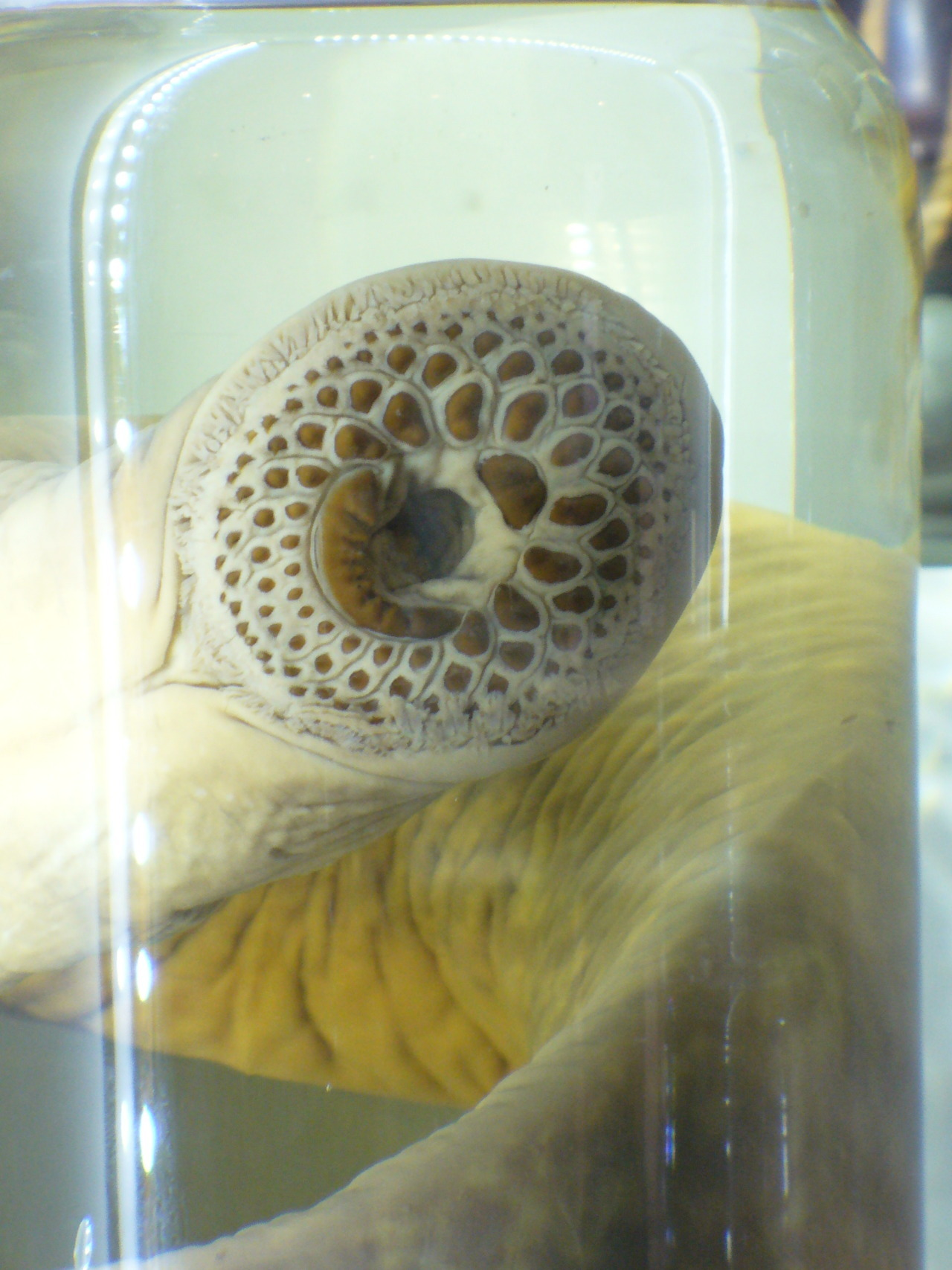 castalasta:  Lamprey in a Jar at The Academy of Natural Sciences. Photo taken by me.