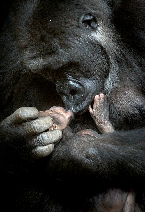 Newborn gorilla and her mother :)