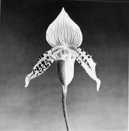 fernsandmoss Robert Mapplethorpe, Orchid, 1987