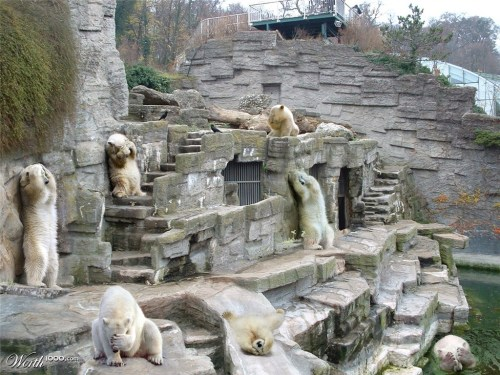 "itspainfullycute:  ""Polar Bears Suck At Hide-N'-Seek"""
