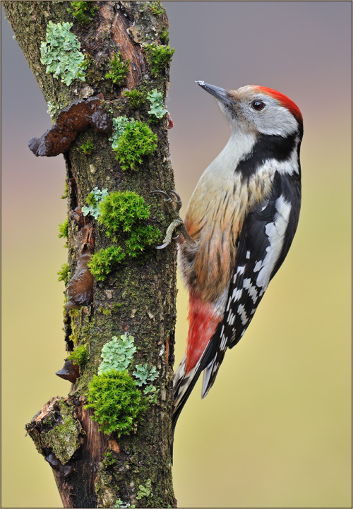 emuwren:  The Middle Spotted Woodpecker - Dendrocopos medius, occurs only in Europe and southwest Asia .