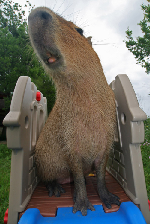 This is Caplin Rous on top of his slide. He was the best capybara in the world and willing to do almost anything. At least if there was a popsicle involved.