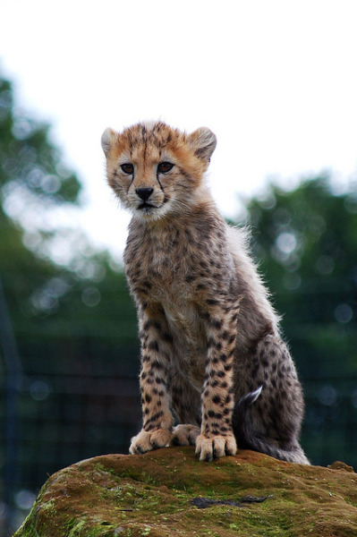 worldlyanimals:  Cheetah Cub (Daysleeper40)