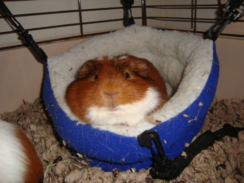 guineapiggies:  Izzy in her happy bed Submitted by norwegiandragonprincess