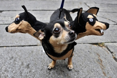 archiemcphee:  This ridiculously cute incredibly fearsome chihuahua cerberus was spotted at the 2008 Tompkins Square Pet Parade in New York City.  [via My Modern Metropolis]