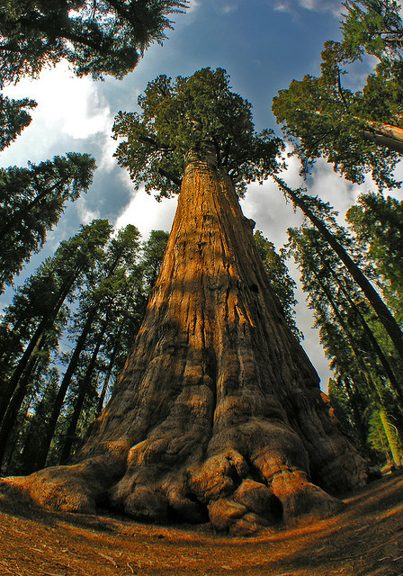 terrestrial-noesis:  General Sherman, a giant sequoia tree in California