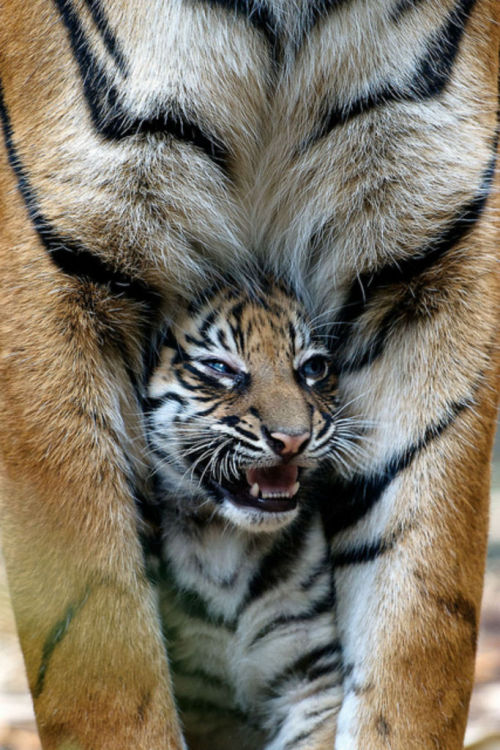 magicalnaturetour:  Tough talk comes easy when mommy's a tiger. :)