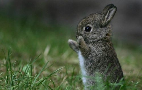 The Monster was this Big! via:cuteoverload. For the Bunny Lovers :)