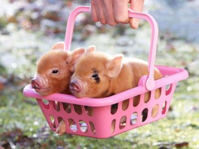 llbwwb:  Piggies in a basket via:cutestuff