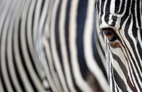 Photo of the Day - Zebra A Fresh Start…www.umutyildiz.com.trhttp://dailydesignchallenge.tumblr.com/http://dailyinstagramchallenge.tumblr.com/