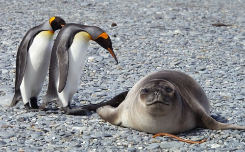 theanimalblog:  King penguins look at a seal in Antarctica.  Picture: David C Schultz/Barcroft Media