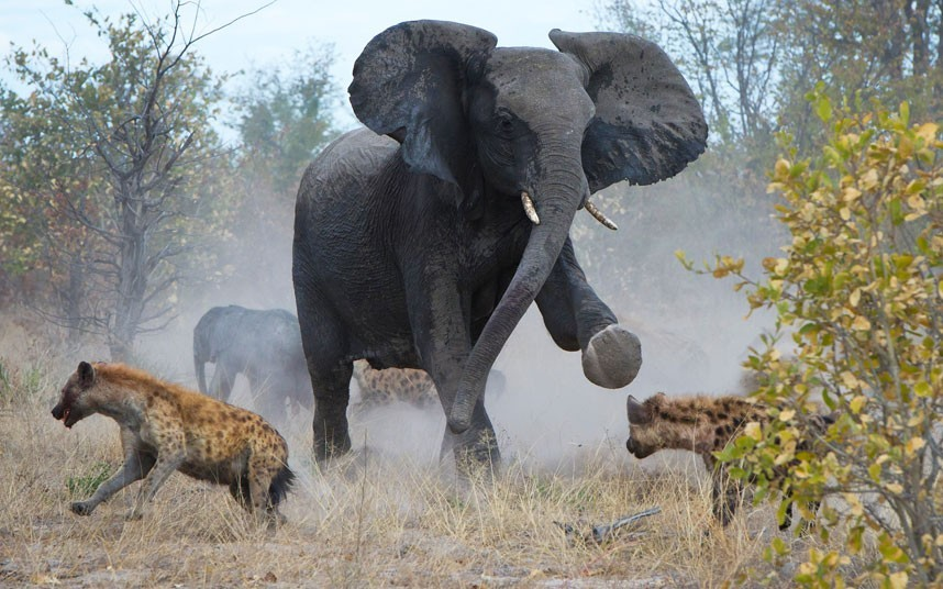 Forget Mama Grizzlies; beware of Mama Elephants! She is definitely pissed! From The Animal Blog.   A protective elephant mother fights off a pack of hyenas to protect her calf. The hyenas had pounced on the baby elephant when it became separated from its mother. She stampeded towards the predators, kicking out her feet at the pack, which soon scattered.  Picture: James Weis/BNPS