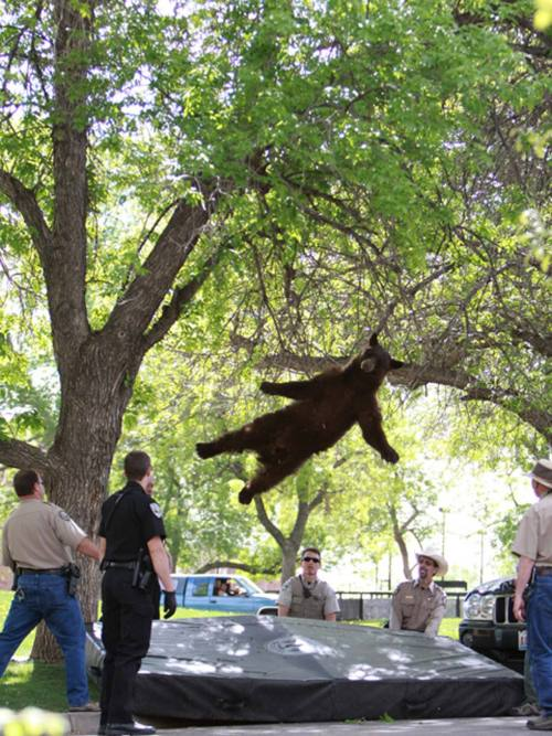 thedailyfeed:  This tranquilized bear falling from a tree in Colorado is just awesome.   It's like Mad Men, but for bears!
