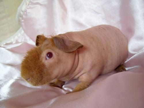 'Werewolf Skinny Pigs' are mutation of a breed of hairless Guinea Pigs.But they're the cutest darned critters ever! :D