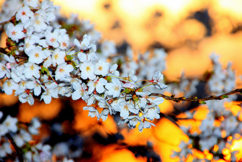 stayplanetary:  Cherry Blossom evening ! by Ming chai on Flickr.