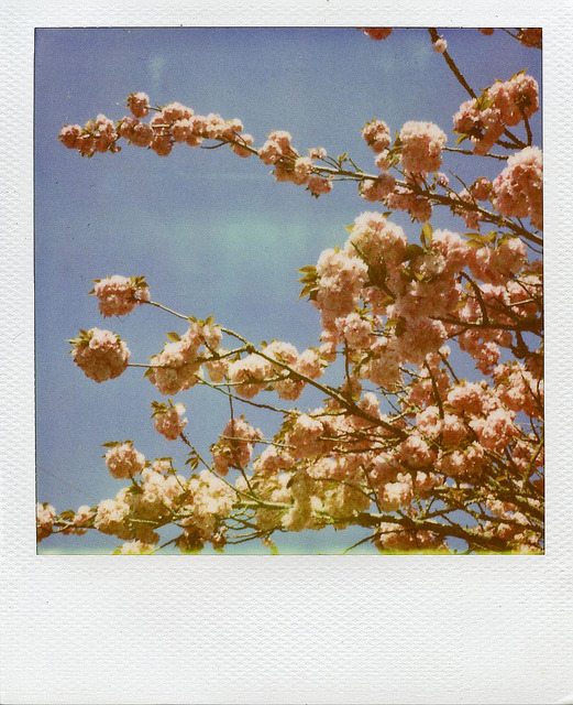untitled on Flickr.obligatory cherry blossoms