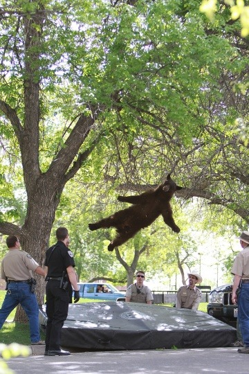 There was a bear in a tree on the campus of CU Boulder this morning. The police tranquilized him and he fell out of the tree. This is the bear falling out of the tree. (via Denver Post) Photo by Andy Duann / CU Independent