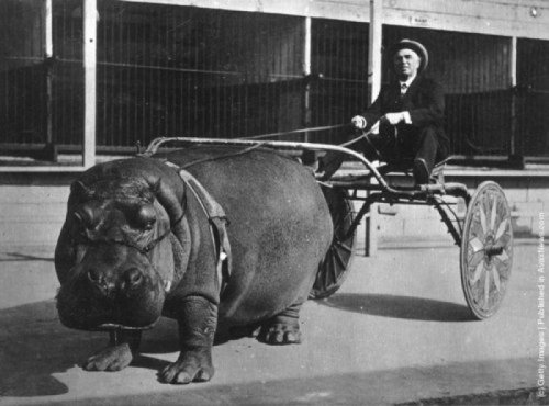Hippo Pulling Cart Slow, dangerous, and impractical. But so cool.