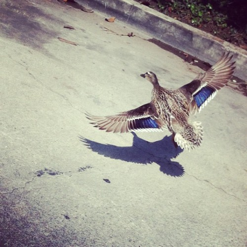 Duck!!!! #duck #quitduckinaround #venice #beach #canals #holyduckbatman (Taken with instagram)