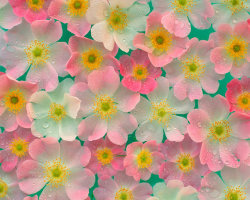 pink japanese anemones via Share Wallpapers