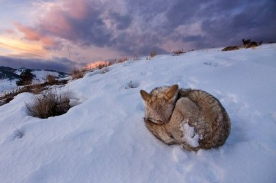 Coyote Curled at Sunset by Timothy Brooks.  Grand prize winner of the National Geographic Student Expeditions Photo Contest.