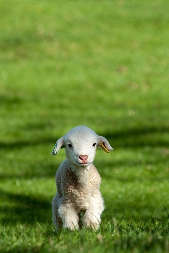baby sheep, I saved you this easter!