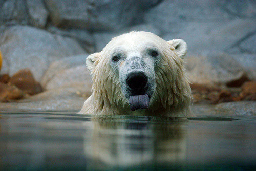 zoo-logic:  The polar bear (Ursus maritimus) and their close relatives the brown bear (Ursus arctos horribilis) were thought to have diverged from a common ancestor around 150-200,000 years ago, an estimate based on DNA sequences from mitochondria (small structures which are the 'energy powerhouses' within our cells and contain some genes that are independent from those found in the nucleus). However, researchers have recently examined genetic markers from the nuclear DNA of polar and brown bears and found a whole different story. The study has revealed that polar bears actually diverged around 600,000 years ago - giving them a much longer period than was previously thought to evolve their unique adaptations to Arctic conditions. This makes sense, as the previous estimate would have meant the polar bears had evolved their adaptations at a rate that would be exceptionally rapid for a large mammal. The false story told by the mitochondrial DNA is likely to be due to hybridisation between polar and brown bears that has occurred since the species diverged (see previous post). Mitochondrial DNA is inherited from the mother, so it is likely that along the way, polar bears may have picked up mitochondrial DNA from a brown bear mother which is now mixed with genetic sequences typical of the polar bear. DNA in the nucleus, however, has been less affected by hybridisation.The genetic analysis also flagged up much lower genetic diversity across polar bears than is seen in brown bears. This is a common feature in endangered species. The reason is often that the species has faced difficult environmental pressures in the past, leading to large reductions in population size, then followed by inbreeding between related individuals in order for the species to recover. A lack of genetic diversity will make it all the more difficult for polar bears to survive the pressures they currently face, such as climatic warming, human interference, and pollution in their food chain. If one individual struggles to cope, and all individuals are genetically similar, then it is certain that many others will also lack the features needed to survive and prosper through these difficult times. You can help support the polar bear by becoming a member or adopting an animal through WWF.Ref: Senckenburg Research Institute and Natural History Museum, 2012. Polar bears evolutionarily five times older and genetically more distinct: Ancestry traced back 600,000 years. ScienceDaily [link]
