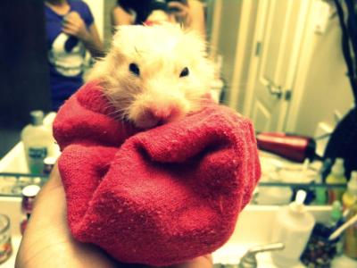 This is my hamster Twinkie <3 after a bath. He is my oldest pet!!!:D He is squeaky clean now. Isn't he super cute. We had to use a sock to keep him warm. This photo was taken by my older sister.. By: Aysha Fraire.