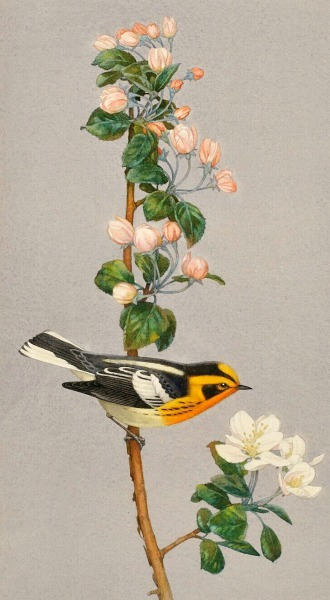 Charles Emile Heil Blackburnian Warbler Late 19th - early 20th century