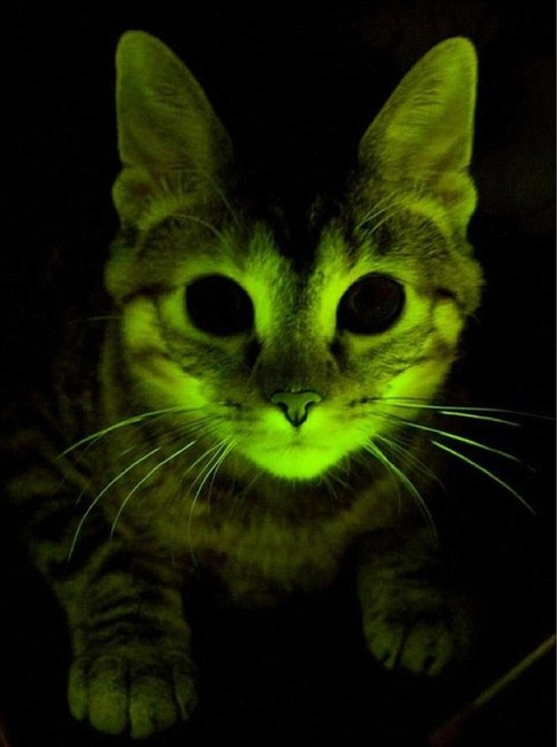"thefluffingtonpost:  Scientists: Radioactive Cat May Have Super Powers Researchers at a nuclear physics laboratory in Tulsa, OK accidentally irradiated a kitten on ""Take Your Cat to Work Day."" While they initially feared the worst, the feline has suffered no adverse effects, and is instead exhibiting new abilities. ""She glows in the dark now,"" says Dr. Jonas Triv, a physicist who has been studying the cat since the incident. ""She's extremely fast. Some of the researchers even claim she can fly, but I haven't seen that."" Via LiveScience. Photo credit: Mayo Clinic."