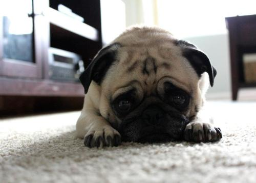 thefluffingtonpost:  PHOTO OP: The Saddest Pug in the World Via soulflight.